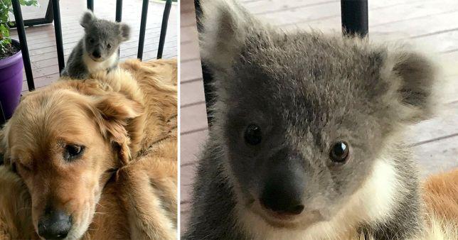 Cadela faz amizade improvável para poder salvar um pequeno coala