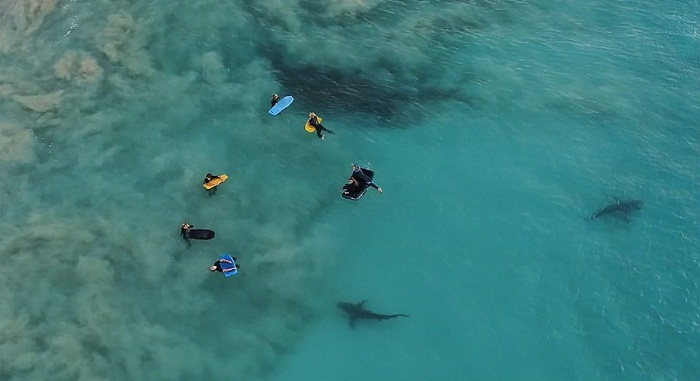 Fotógrafo captura momento em que 400 tubarões aparassem em praia