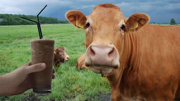 Milhões acham que leite achocolatado vem de vacas marrons