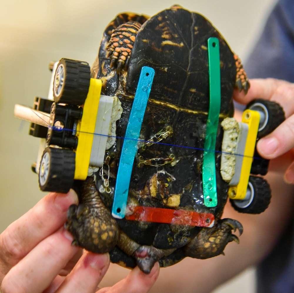 Tartaruga simpática ganha cadeira de rodas feitas em LEGO