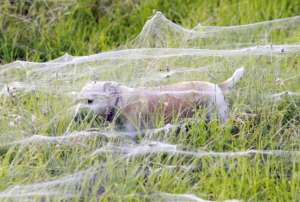 Teia gigante de aranhas cobre um campo de futebol inteiro