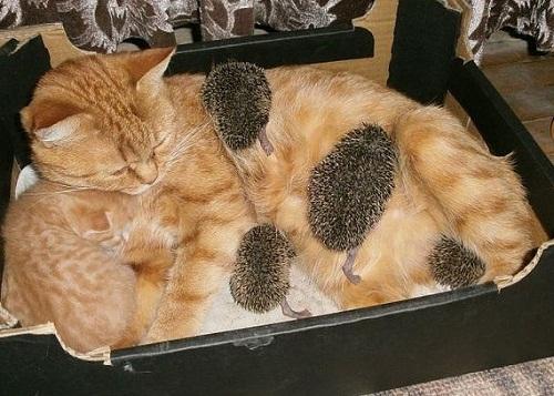 Gatinha salva o dia adotando filhotes de ouriço