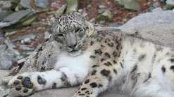 Leopardo das Neves é retirado da lista de
