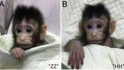 Pela primeira vez, macacos são clonados usando a técnica Dolly