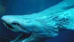 Barco português pesca tubarão pré-histórico com 300 dentes