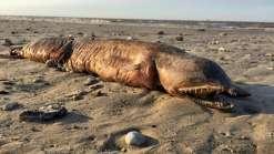 Criatura estranha é encontrada nos EUA após furacão