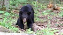Caçador é morto por urso que ele achou que tinha matado
