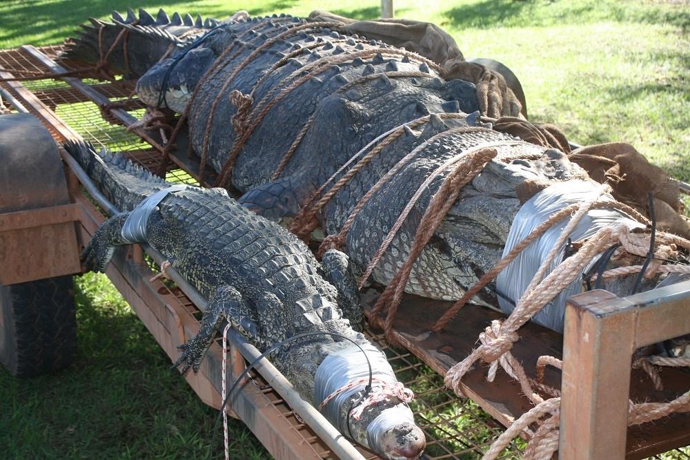 Crocodilo gigante é capturado em rio da Austrália (claro!)