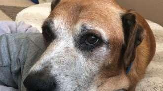 Cachorro com câncer ganha hamburgeres pelo resto da vida