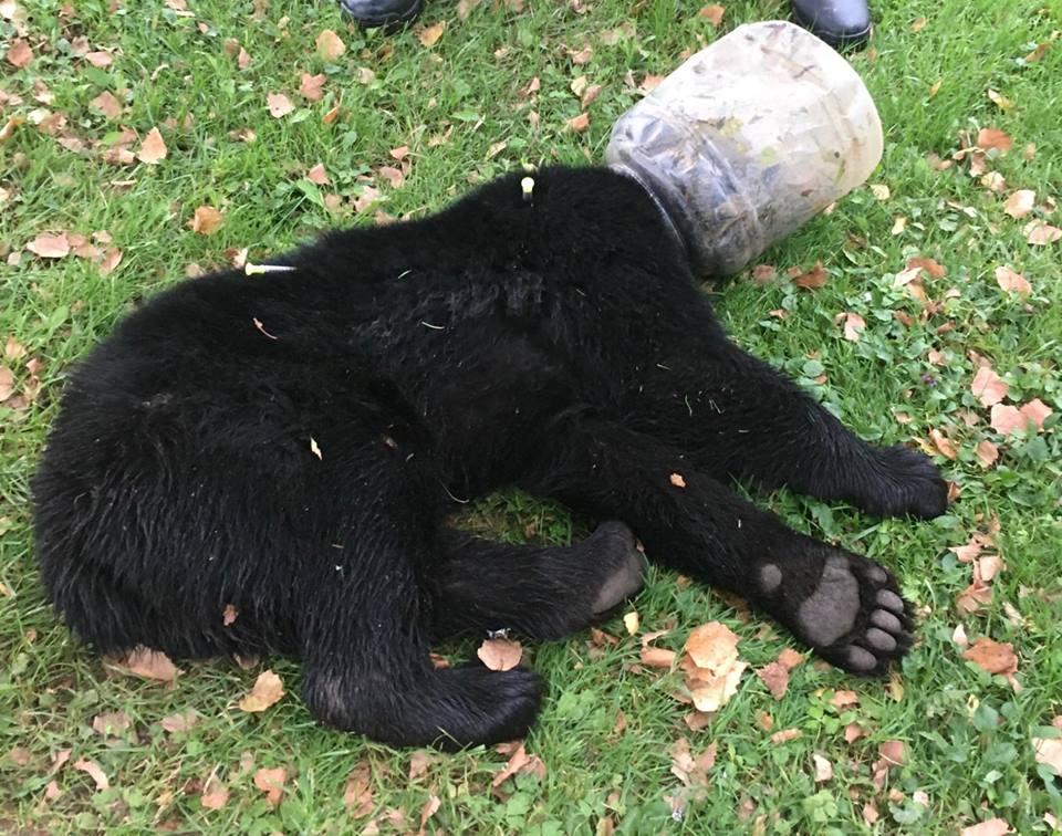 Urso é salvo de pote de plástico após ação de 3 dias