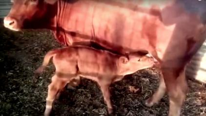 Nascimento de vaquinha em Israel é o sinal do fim do mundo?