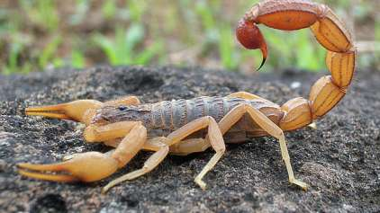 Escorpiões a bordo: Homem é picado por escorpião em avião