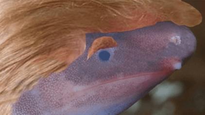 Anfíbio: 'homenagem' a Donald Trump