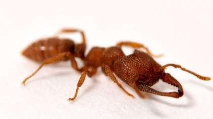 A formiga drácula: mandíbulas mais potentes do mundo