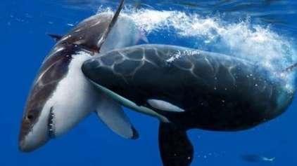 Orcas vs Tubarões: descoberto um novo capítulo para esse duelo animal!