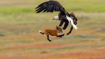 Sequência de imagens mostra uma luta entre raposa e águia