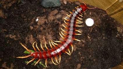 Centopeia é flagrada comendo cobra
