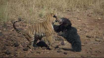 Mamãe ursa enfrenta tigre para salvar filhote em vídeo incrível