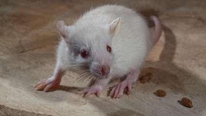 """Pela primeira vez na história homem pega """"Doença do rato"""""""