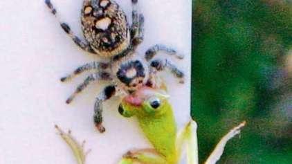 Aranhas estão evoluindo para sugar sangue de vertebrados