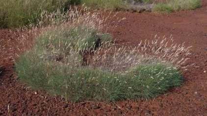 Ciêntistas descobrem grama com gosto de vinagre e sal