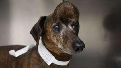Cachorrinha é salva do câncer graças a impressão 3D