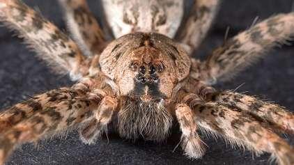 Por que nós seres humanos temos tanto medo de aranhas?