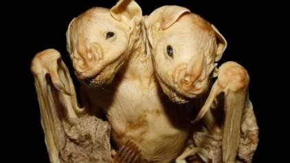 Morcego de duas cabeças encontrado no Brasil é muito importante