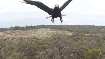 Porque você nunca deve voar com seu drone próximo de uma águia