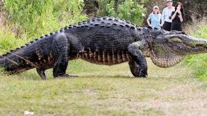 Crocodilo gigante é filmado dando uma voltinha na Florida