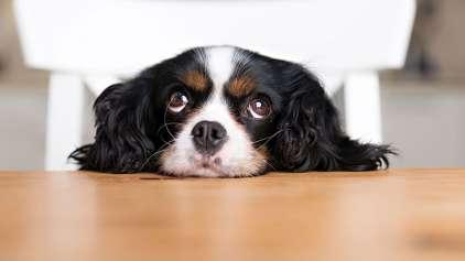 Seu cão pode estar te enganando, saiba como