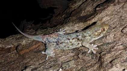 Nova espécie de lagartixa especializada em ficar pelada