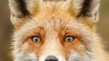 O que a raposa diz? Ou melhor o que ela grita enquanto briga?