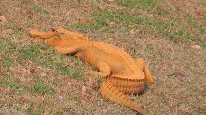Crocodilo laranja é visto na Florida