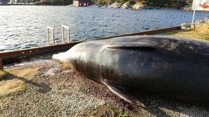 Baleia tem que ser sacrificada após comer muito plástico