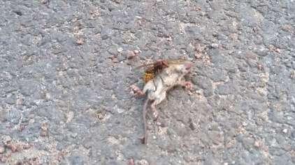 Mais um duelo da natureza: Rato versos uma vespa
