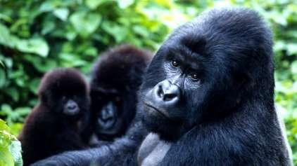"""Gorila-das-montanhas é removido da lista """"Crítica"""" de extinção"""