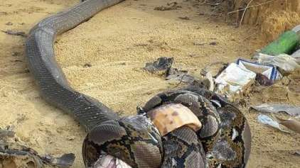 Python vs Cobra-real: Veja a foto do duelo sem vencedores