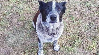 Max, cachorro surdo e cego, salva garotinha perdida na floresta