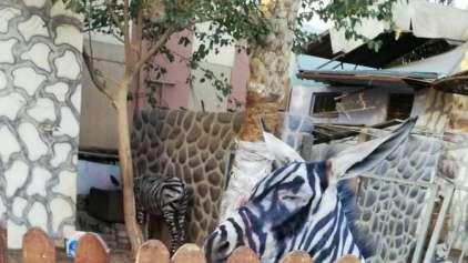 Zoológico no Cairo pinta um burro para enganar turistas