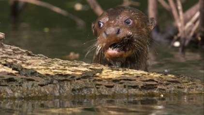 Duelo animal: Família de lontra enfrenta crocodilo