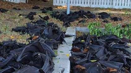 Quase mil morcegos apareceram mortos na Australia