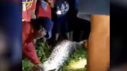 Homem é encontrado dentro de uma python de 7 metros