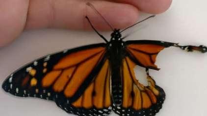 Mulher salva borboleta com surpreedente transplante de asa