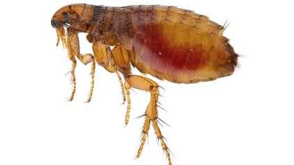 Bactéria da Peste Negra é encontrada em pulgas nos EUA