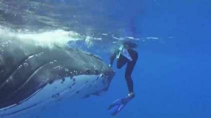 Vídeo inédito mostra baleia protegendo mergulhadora de tubarão
