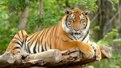 Boa notícia: Nepal consegue dobrar a população de tigres