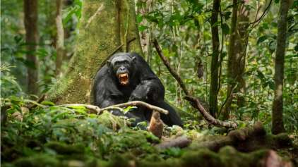Estudos mostram que macacos fazem guerra assim como humanos