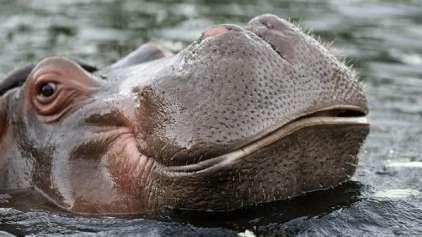 Cientistas descobrem que nº 2 de hipopótamos é mortal