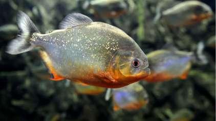 Cientistas encontram plástico nos peixes Amazonenses